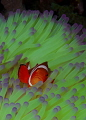 Riding Green WaveClown anemonefish Amphiprion ocellaris inside magnificent sea anemone Heteractis magnificaMasaplad North Dumaguete