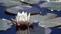 was about drop below lake dive noticed nice shot surface....Waterflower. surface....Water-flower. surfaceWater-flower surface Water-flower surface....Water flower.