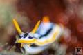 Magnificent chromodoris Anilao reef. reef