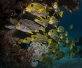 typical schooling Sweetlips Raja Ampat taken JettyAborek Jetty/Aborek Jetty Aborek