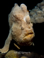Giant Frogfish off Siquijor Island. Uncropped image. One my bucket list checked Island image