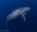 """Motherhood. mama humpback whale hovers her twoweek old calf helping him control his buoyancy. """"Motherhood"""". """"Motherhood"""" two-week two week buoyancy"""