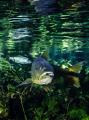Dourado Salminus brasiliensis this pic was taken rio sucuri south pantanal Brazil afternoon... afternoon