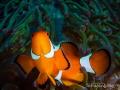 Clown Fish. 43mm Macro Oly EM1 Fish E-M1 M1