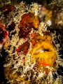 yer Face. Frogfish Antennarius sp. Chaloklum ThailandEM5Oly 60mm1250f18iso100Inon D2000x2 Face sp Thailand-EM5-Oly Thailand EM5 Oly 60mm-1/250-f18-iso100-Inon 60mm-1250-f18-iso100-Inon 60mm-1 250-f18-iso100-Inon 60mm1/250f18iso100Inon 60mm 1/250 f18 iso100 Inon