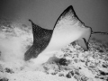 Ive learned lay quietly sand gently dig when encountering Eagle Rays. Some come start digging tasty morsels right next me. This one feet wingtip wingtip. Oahu Hawaii. Rays me Hawaii