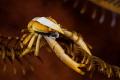 Spring crab crinoid