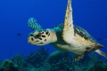 Young hawksbill turtle Chilling hanging