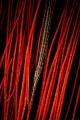 Trumpetfish gorgonia
