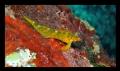Tripterygion delaisi Coral Bay Pistol 10m. Bay- 10m