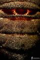 cyclops particularly carapace cicada sea