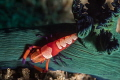 HitchhikerI was excited come across this shrimp taking ride nudi great color combo