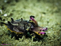 One two Flamboyant Cuttlefish vying attention another. Dumaguete Philippines another