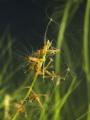 Hydra oligactis