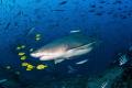 Lemon shark pilot fish pregnant surrounded colorful yellow cruises around during dive Fiji fish/