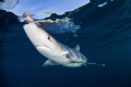 Testing watersA curious blue shark investigates divers off coast Rhode Island. waters/A waters Island
