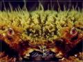 HTeddy Bear Crab