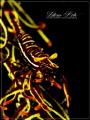 EFeather star Crinoid Shrimp