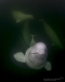 Belugas wild where they should be Hudson Bay Churchill Canada