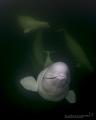 Belugas wild where they should be Hudson Bay Churchill Canada