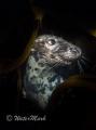 seal posing lundy island u.k .. uk