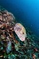 Pufferfish Gili Meno Island