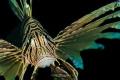 Portrait common lionfish