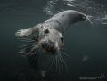 Playful seals Farne Islands