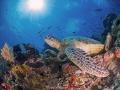 Sunbathing Green Sea Turtle Sipadan