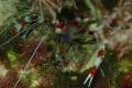 coral banded shrimp. One my first photos Im trying see if will upload correctly since wont forums. Constructive criticism help greatly appreciated. shrimp forums appreciated
