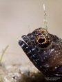 Amongst my favourite photographic subjects Saint Lucia Sailfin Blenny Emblemaria pandionis. about inch half long this guy has got lot attitude make its size. pandionis). pandionis) size