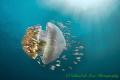 Mother ShipPelagic jelly fish cruises waters near Puerto Galera Philippines