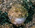 lizardfish feeding Lembeh Strait Sulawesi Indonesia