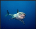 Title Has anyone seen my Dive BuddyPhoto Andy male Great White Taken Guadalupe Oct 15. He sure nice Smile 15