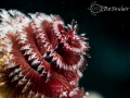 Christmas Tree Worms are my favorite subject. You have be very stealthy get close them. This cropped backscatter removed. subject them removed