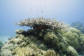Large Staghorn coral variety fish swimming around Saxon reef Great Barrier Reef. Used Canon 60D Tamron 1024 lens Ikelite housing dome port. 10-24 10 24 port