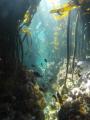 Diversity Kelp forest