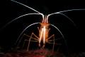 Redbanded cleaner shrimp spotlight better snootlight