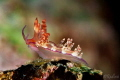 Aeolid Nudibranch Flabellina