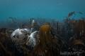 DaydreamGrey seal lying kelpFarne islands