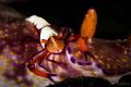 Hitchhiking Emperor Shrimp