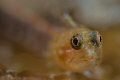Startled Peppermint Goby