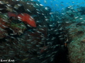 Coral rockcod curtain glass fish