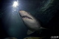 have been called assignment depict emotion shark dive Manly aquarium so wanted facing friendly sand tiger shark. This pic taken diving large enclosure