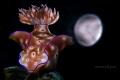 Ceratosoma trilobatum Moonlight