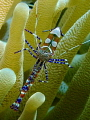 Anemone Shrimp taken my TG4 Curacao