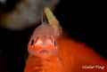 Whip coral goby parasite