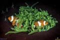 Anemone Anemonefish