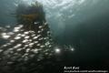 Schooling fish surrounding us dusk dive Cape Town