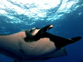 Giant pacific manta came close up. Taken Socorro Islands. up Islands